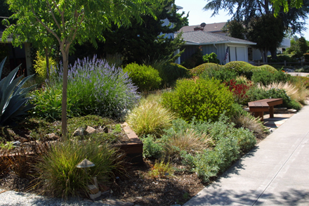 Gallery Of Lawn Replacement Drought Tolerant Landscape Garden Design In San  Jose California Taproot Garden Design Fine Gardening With Low Water Garden  ...
